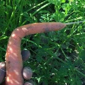A carrot bent at a 90-degree angle is still safe to eat