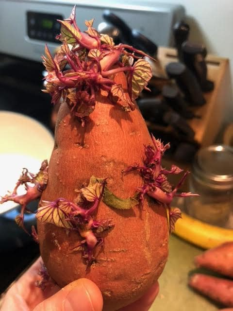 Leafy sprouted sweet potato