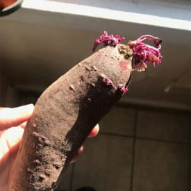 Sprouted sweet potatoes are edible and you can even eat the sprouts