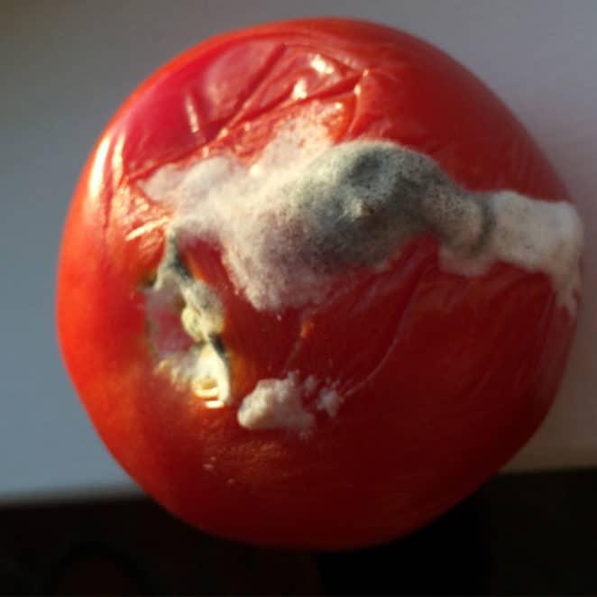 A moldy tomato