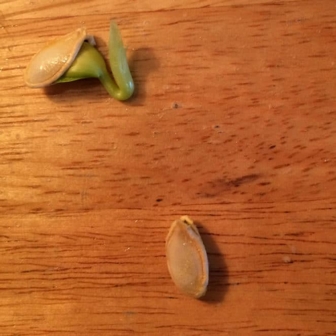 Sprouted squash seeds