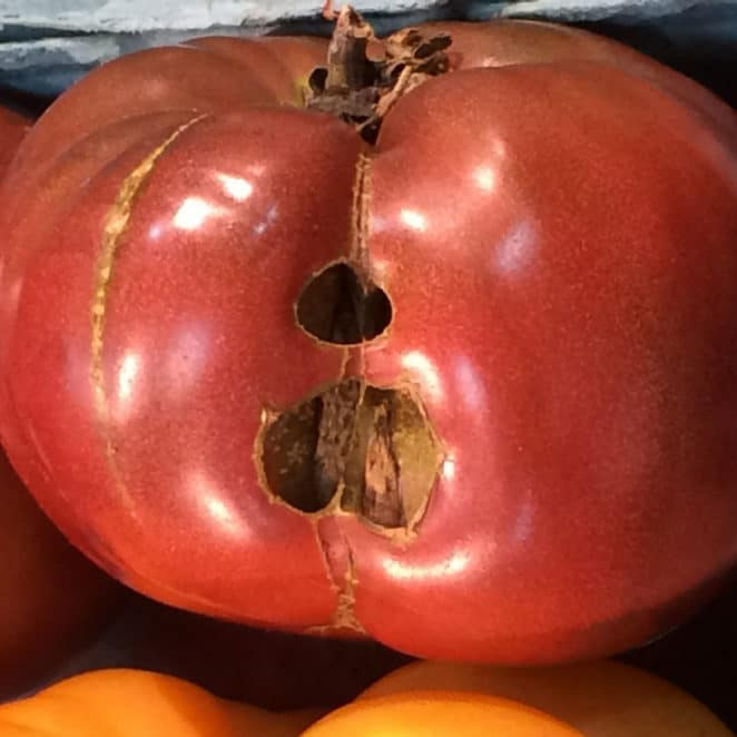 Heirloom tomato with holes