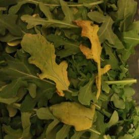 Yellow arugula is edible