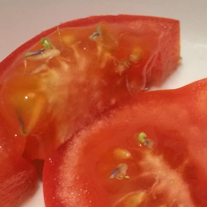 Sprouting tomatoes are edible