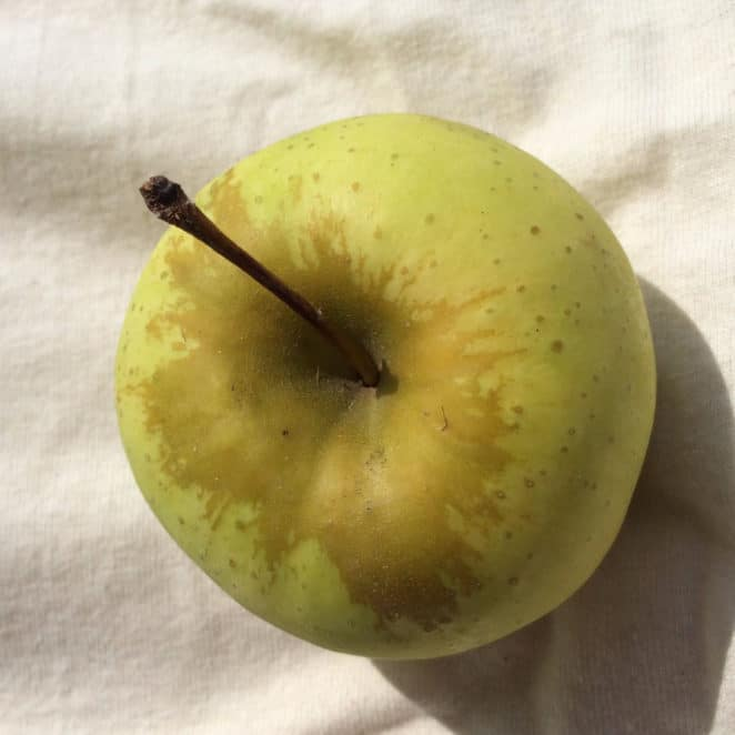 An apple with russetting, or brown, rough skin around its stem