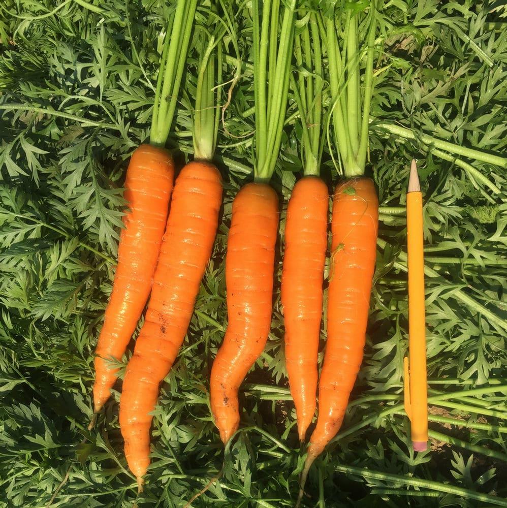bent carrots