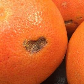 Dark scratch on grapefruit