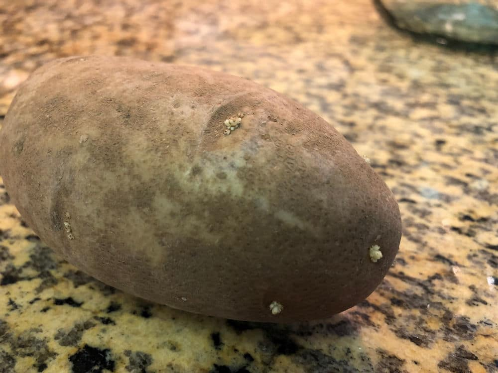 russet potato with small sprouts