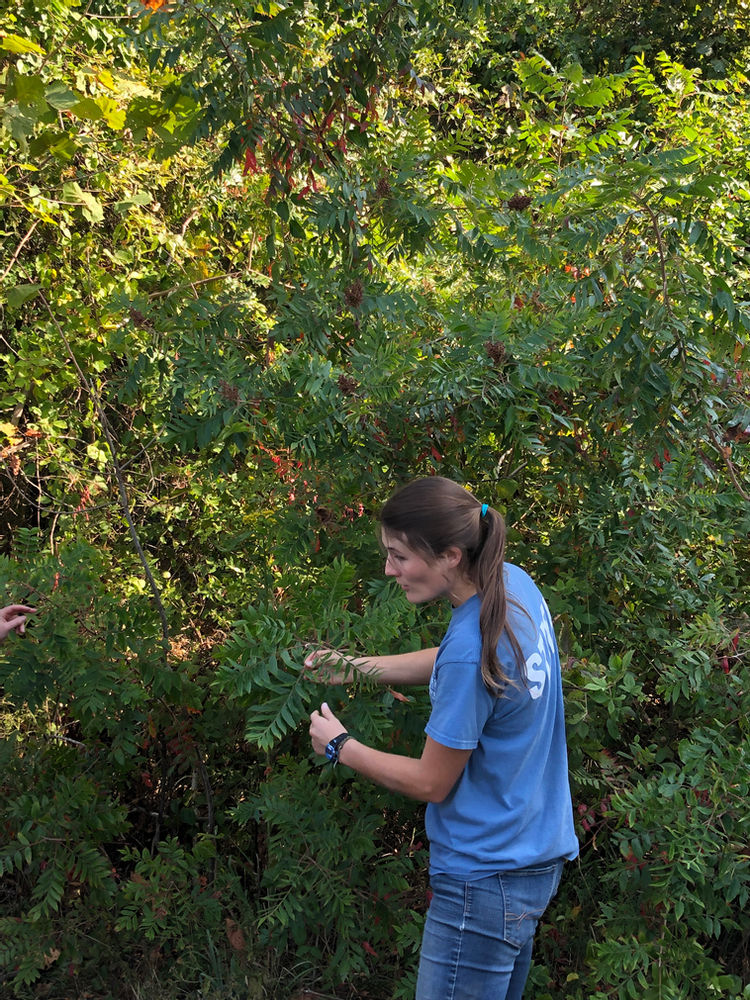 KC Carr explains the uses of red sumac berries.